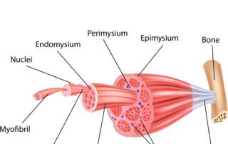 Quanti tipi di fibra muscolare esistono? Centro Saffi Medicina (BO)