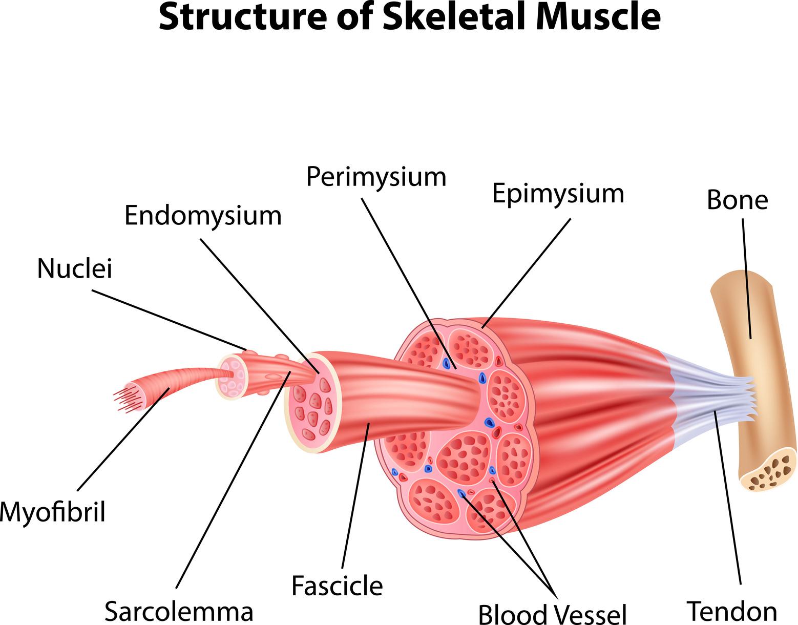 Quanti tipi di fibra muscolare esistono?
